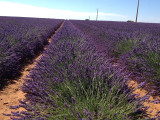 field lavenderAix en Provence tourist office  booking center