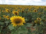 champ de tournesol Aix en Provence office du tourisme centrale de reservation