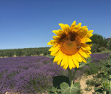tournesol Aix en Provence office du tourisme centrale de reservation