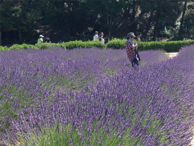 field lavender
