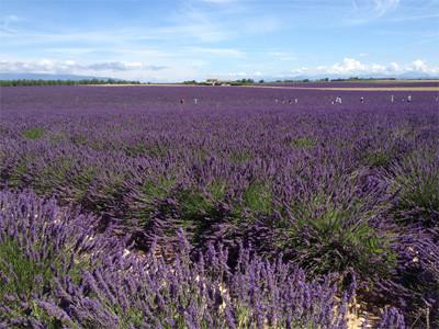 champ de lavande Aix en Provence office du tourisme centrale de reservation