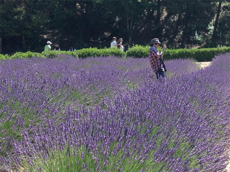 lavande champ Aix en Provence office du tourisme centrale de reservation