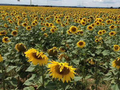tournesol champ Aix en Provence office du tourisme centrale de reservation